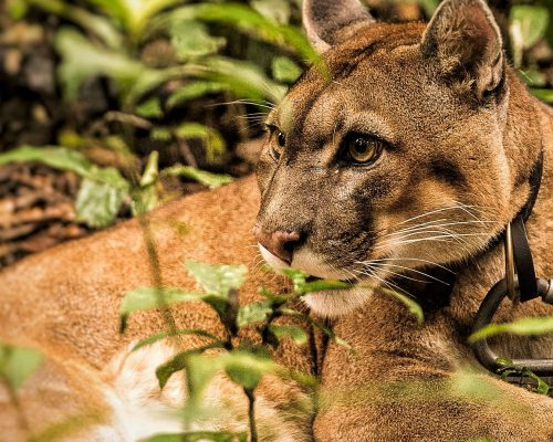 Sonko, a male puma, rests during a walk at Parque Jacj Cuisi