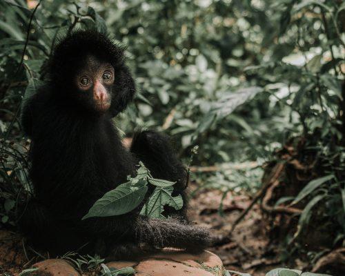 Simona, una Mono Araña en el Parque Machía, mira la cámara