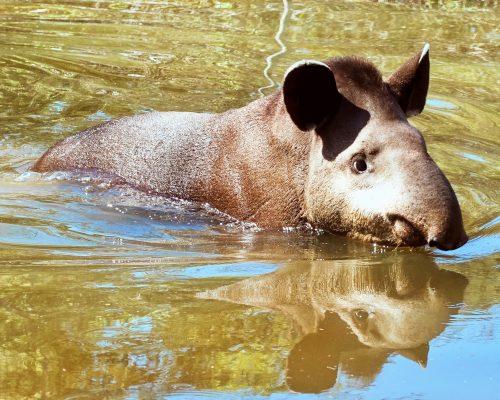 Titus el tapir disfruta de un baño en Ambue Ari